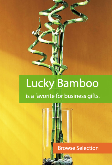 Lucky Bamboo is a favorite for business gifts.